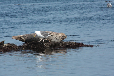 A seal and gull share a rock as the tide comes in at Monterey, CA