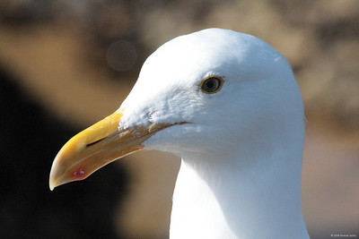 Seagull at Monterey, CA