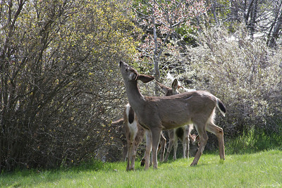 Deer in downtown Ashland, OR