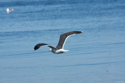 Seagull in flight at Monterey, CA