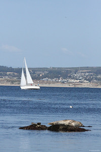 Seal, seagull and sail boat at Monterey, CA