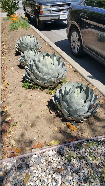 Cactus on the sidewalk in the town of Campbell.