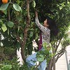 Picking oranges at Jenny's neighbor's... (per Jenny's order) ;-)