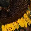 Sat Quivira Sunflower with Bugs