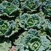 Sat Quivira Cabbages