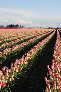 Tulip fields near Mt Vernon