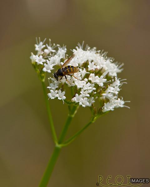 Bee on flower V  8x10