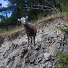 A young Bighorn Sheep, looking for mama.