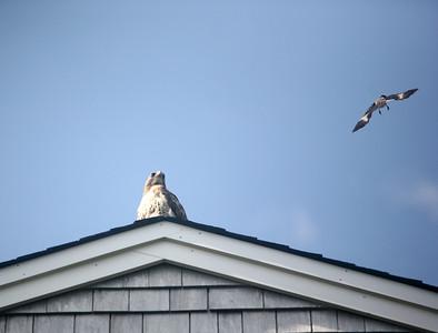Hawk Attack 1