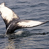 Baby Humpback tail.  Will be named by the biologists this fall.