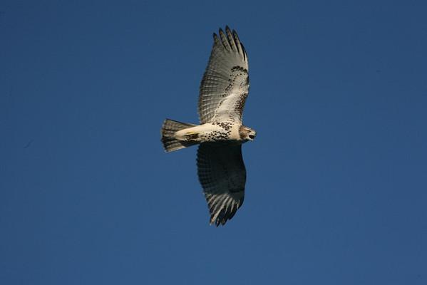 Cape Hawks 2013