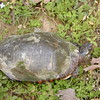 Skilpot.  This turtle is a Red bellied terrapin