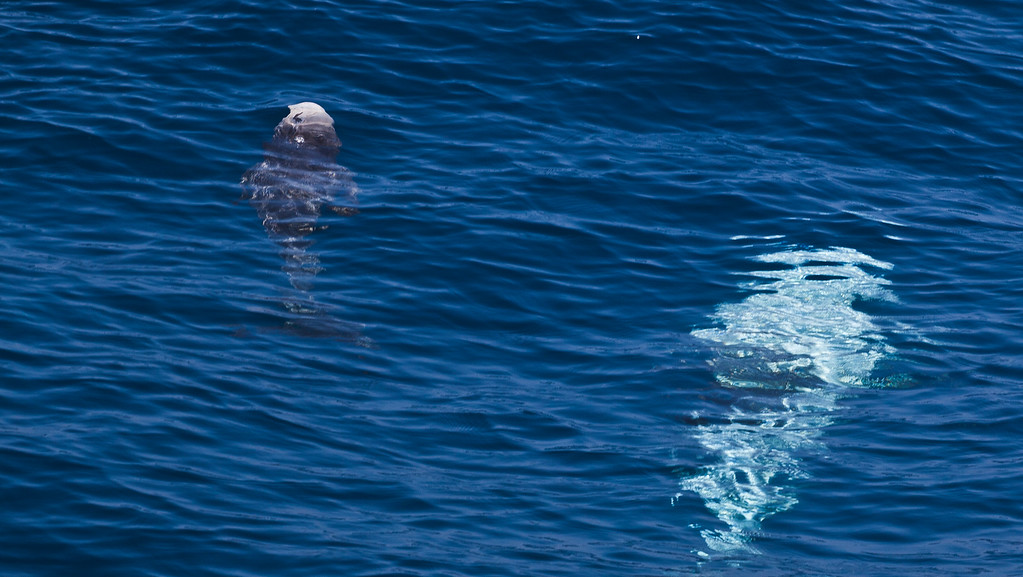 Sailing to Catalina with Nic's family, saw a pod of 30+ Risso's Dolphins including this cow and her calf.  They are one of the biggest, look almost like a whale.