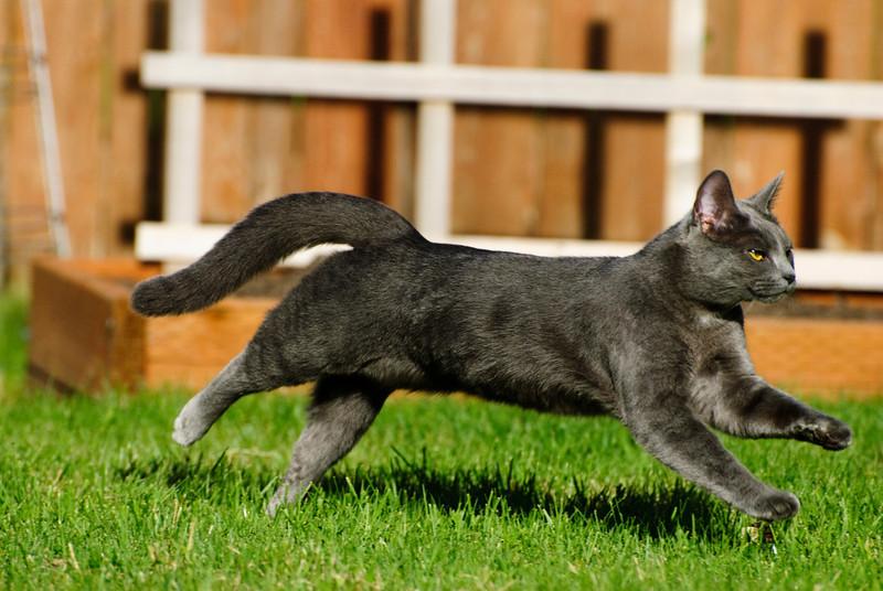 5.24.14  Ashley the cat streaking across the yard