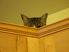 A close up of Thor in his hiding place on top of the kitchen cabinets.  I don't know how long we'll have Thor because even after going through surgery to fix a shattered femur he still runs across the street.