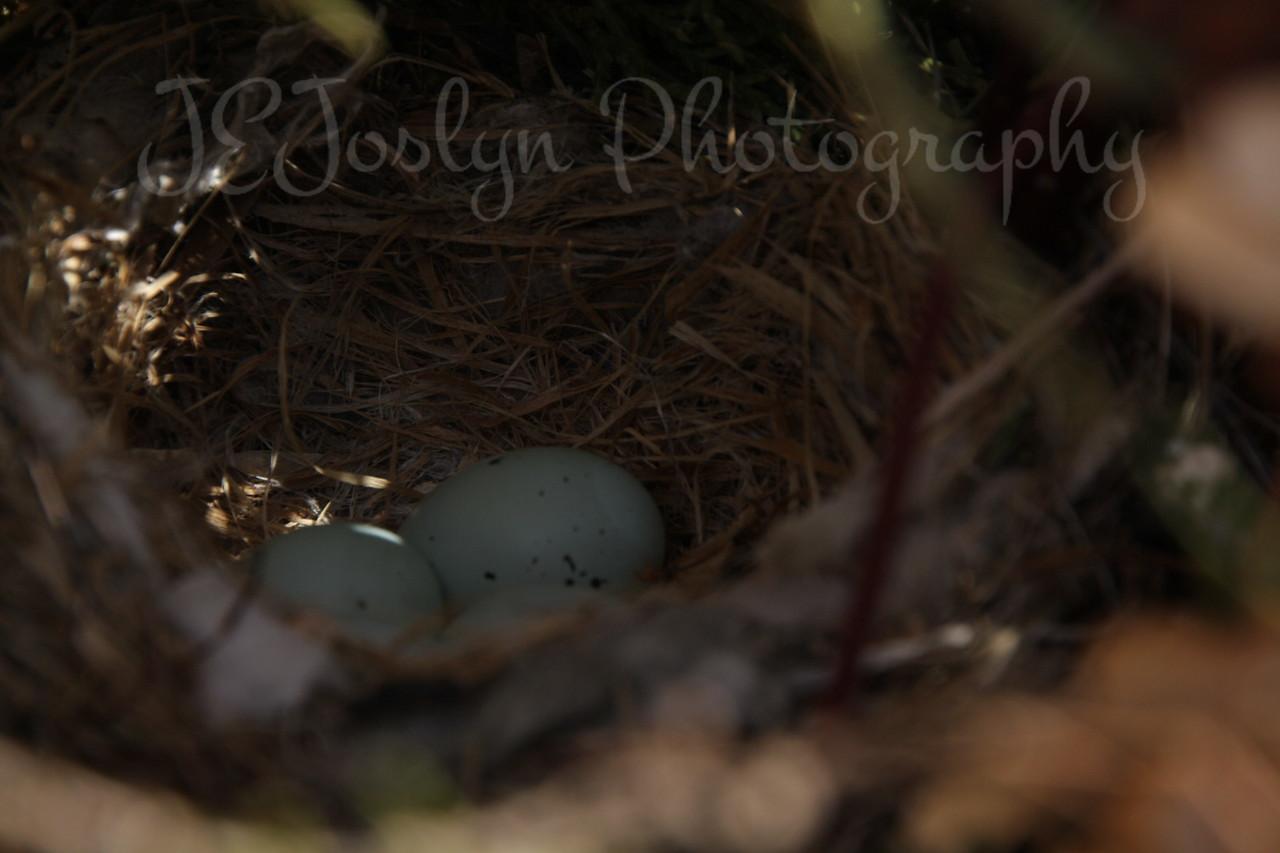 House Finch nest, 4 eggs, size of little finger.   Easter, 4-4-2010, at GrandMa Hat's-Champlin, MN