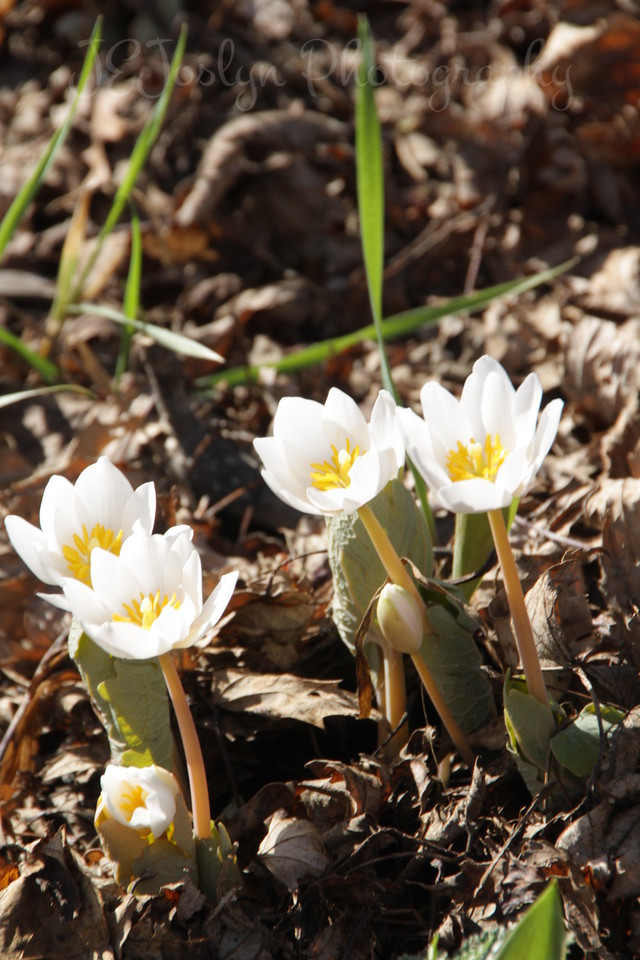 BloodRoot Spring Flowers.   Easter, 4-4-2010, at GrandMa Hat's-Champlin, MN