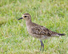 Golden Plover.  At the beach.  Hike all over the damn island and this thing is at the beach.  Makes sense, I suppose.