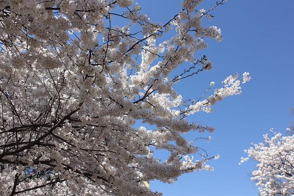Cherry Blossom Festival 2015
