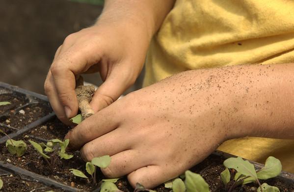 Lydia planting