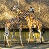 Crossing-Giraffe - IMG-2947