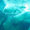 Swimming-Polar-Bear - IMG-5388
