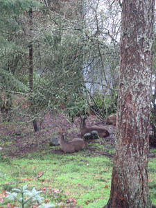 Deer resting in front yard!