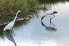 Great Egret and Wood Stork hunting for dinner.