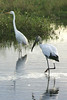 Great White Egret and Wood Stork.