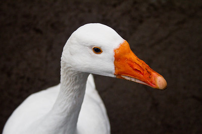 Goose at Bakewell