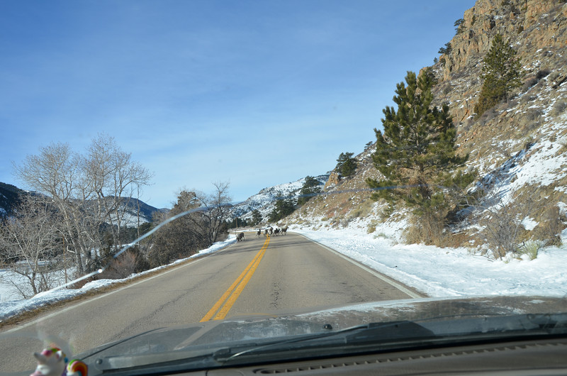 Heading up to the Blackbear on Christmas eve, came upon this heard of big horn sheep right in the middle of the road :)