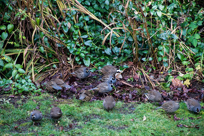 A Our family of Quail Joined us Christmas Eve