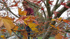 In this video, Cooper girdles the maple tree with lights.