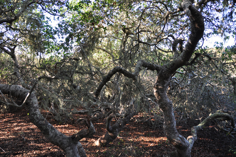 """The name """"Elfin Forest"""" comes from the short stature of the California Live Oaks within the preserve"""
