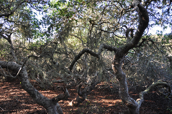 "The name ""Elfin Forest"" comes from the short stature of the California Live Oaks within the preserve"