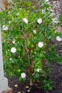 The blush pink camelia outside Ari's dining room door