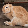 Honey Bunny the rabbit