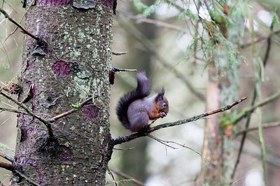 Red squirrel (Sciurus vulgaris) at Eskrigg Nature Reserve, Lockerbie