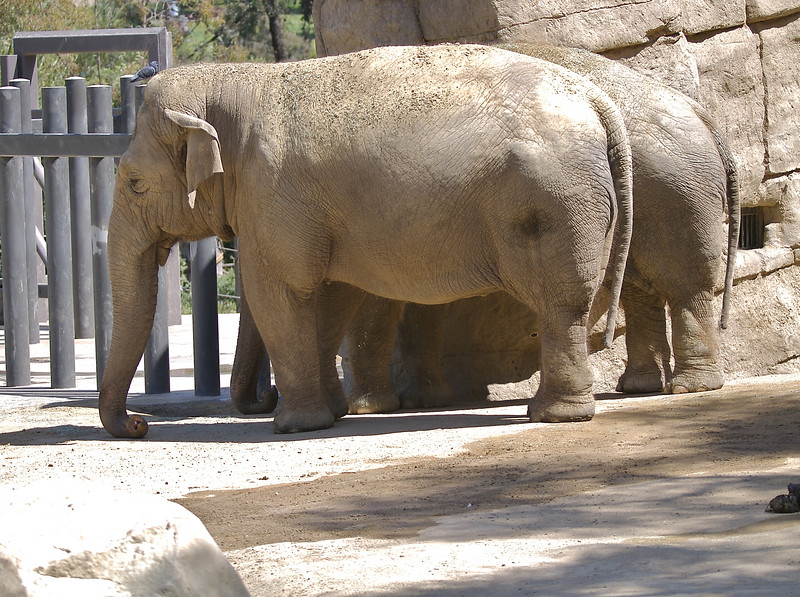 These are Asian Elephants. Cody rather play with the grass.