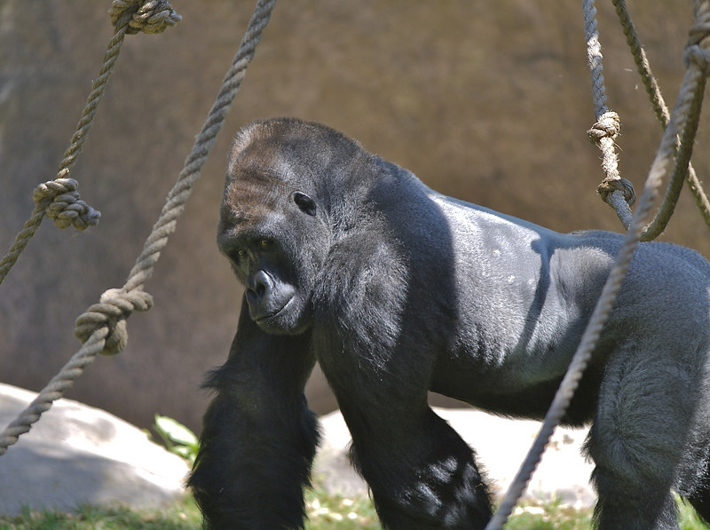 While daddy was up top, Cody and mommy saw the gorilla walk right past us. It was way cool! I told Cody that the gorilla was eating. Cody made the sign for eat and wanted something to eat too.
