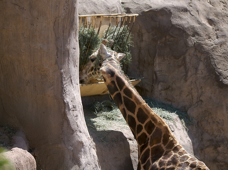 Here is the famous crook neck giraffe.