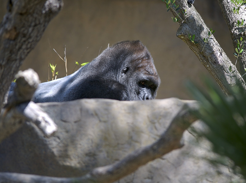 Here is the gorilla.