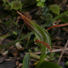 Green hooded orchid