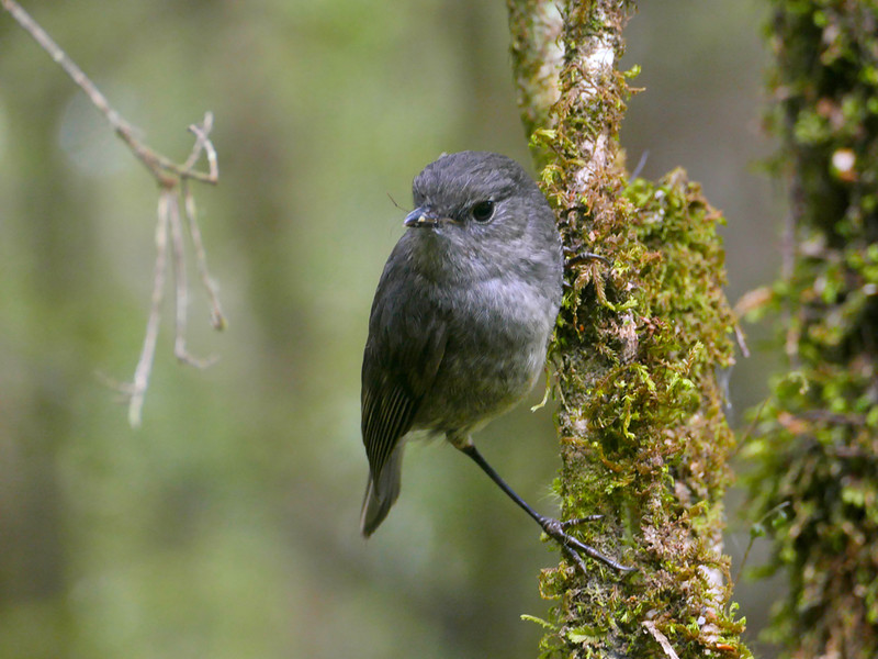 South Island robin (female)
