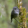 South Island robin (female)