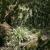 Astelai & Usnea lichen