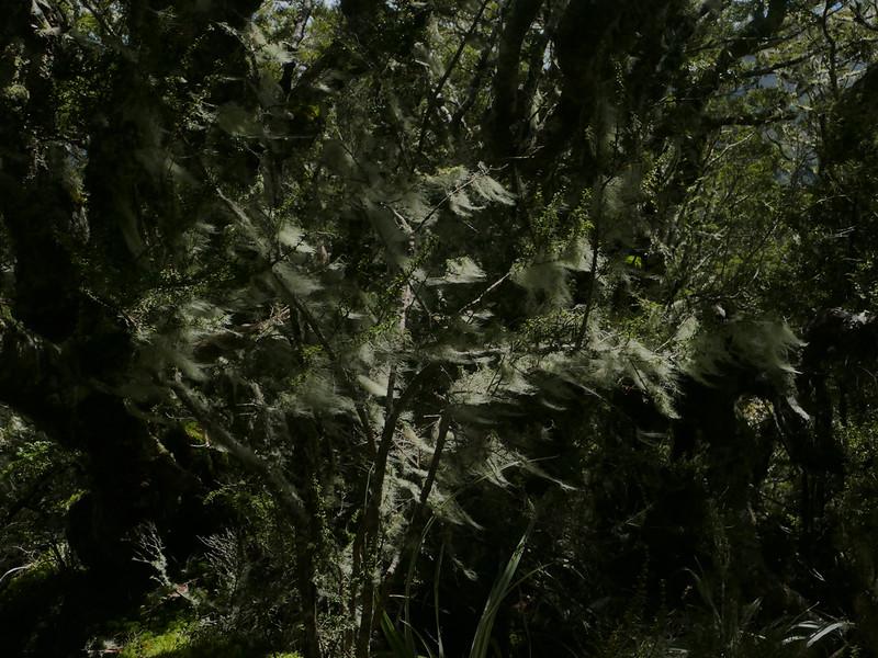 Usnea articulata