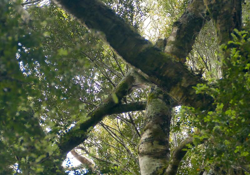 Long-tailed cuckoo