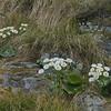 Ranunculus lyalii