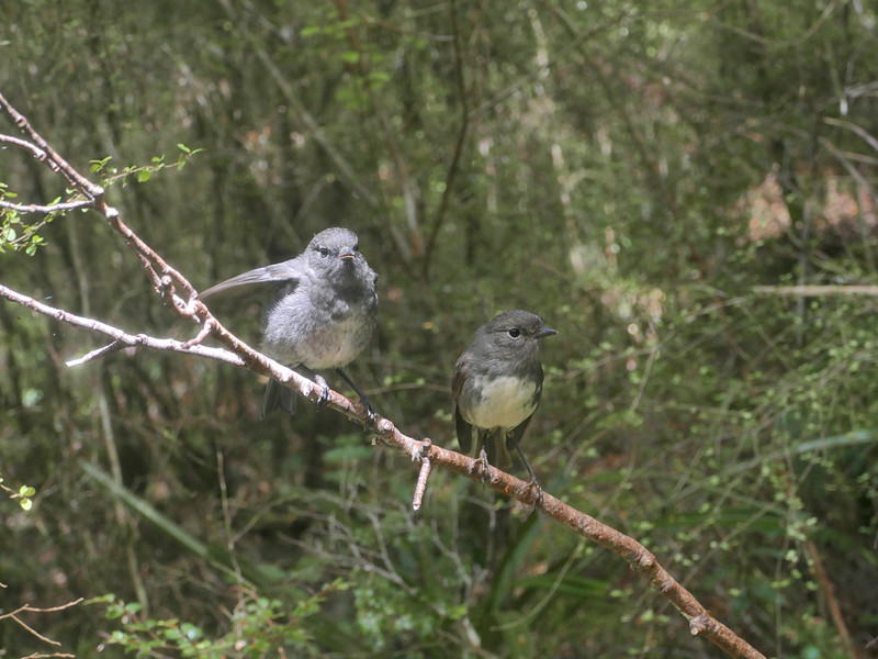 Immature & adult robin (female)